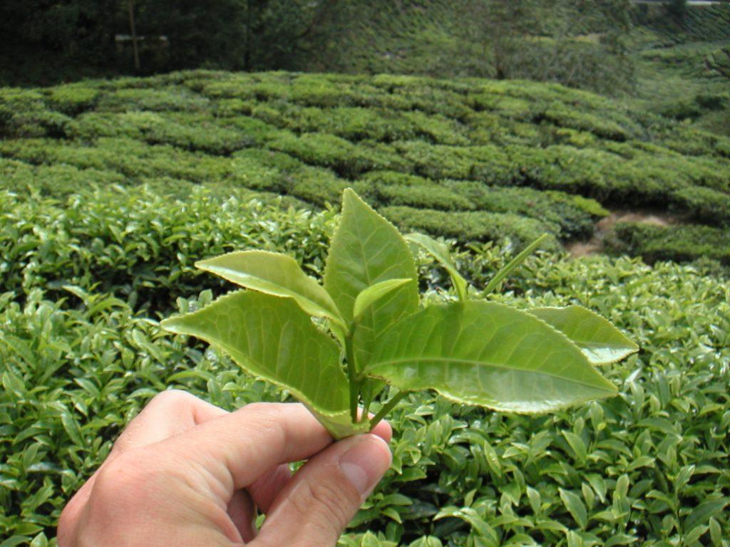 Herbata Japonia